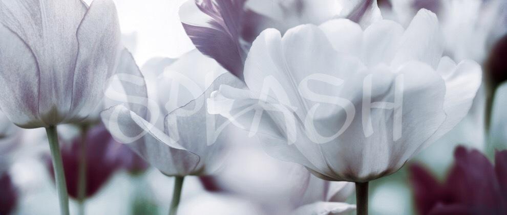 Cuadros de Flores Cuadro de Flores BlancasCuadros Modernos Splash