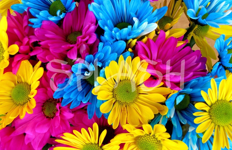Cuadros De Flores-Margaritas De Colores
