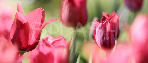 Tulipanes rojos SP222