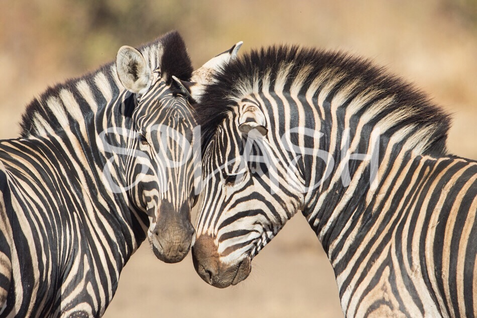 ethnic picture of bait in brown tones with a couple of zebras